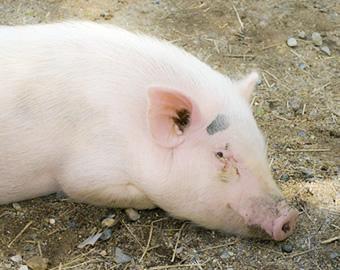 養豚におけるフルボ酸の効果